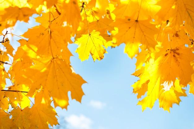 Folhas de bordo amarelo e laranja de outono no fundo do céu azul