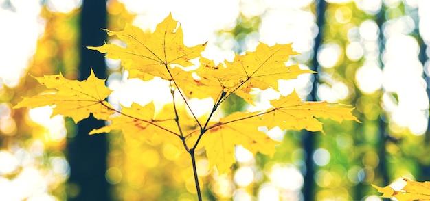 Folhas de bordo amarelo na floresta em uma árvore em um fundo claro