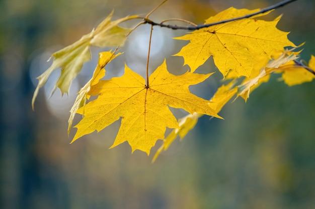Folhas de bordo amarelo na floresta em uma árvore em um fundo desfocado em tons pastel