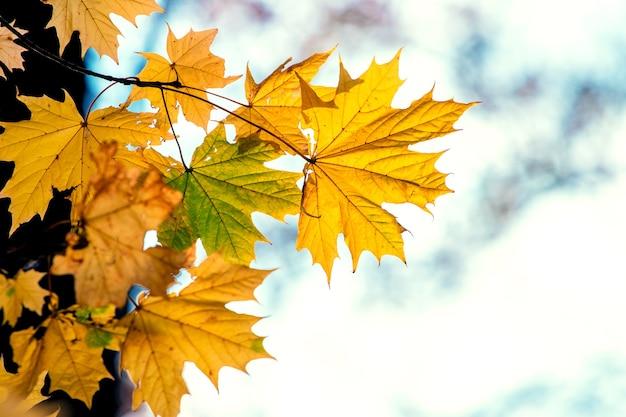 Folhas de bordo amarelo outono em um fundo claro e desfocado