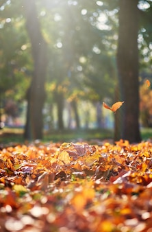 Folhas de bordo amarelo seco voando de árvores em uma tarde de outono nos raios de um sol brilhante
