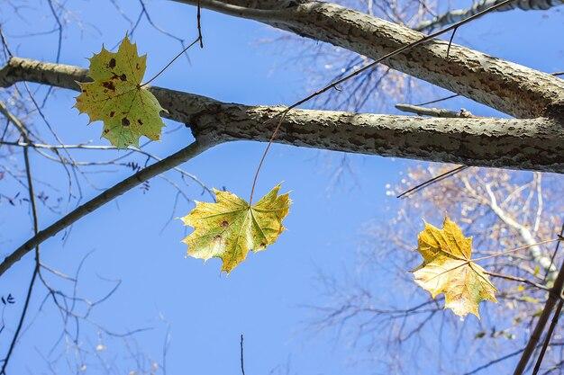 Folhas de bordo brilhantes em galhos de árvores no fundo do céu azul na floresta de outono