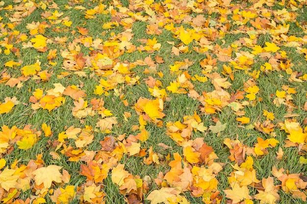 Folhas de bordo caídas amarelas na grama verde na temporada de outono. tema de outono. vista do topo.