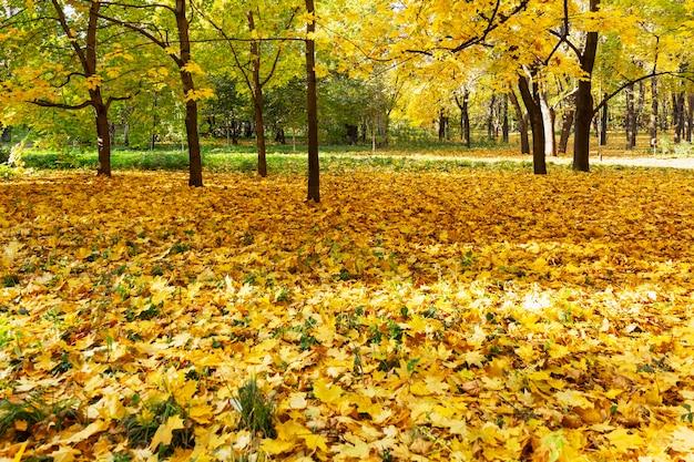 Folhas de bordo caídas amarelas no chão do parque em um dia ensolarado. outono dourado. paisagem bonita.