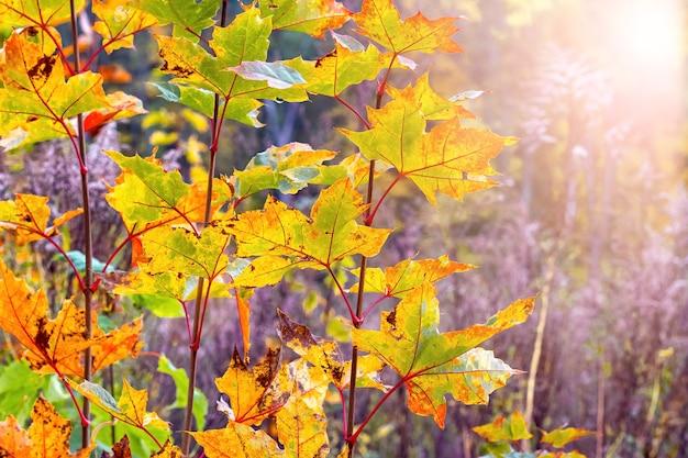 Folhas de bordo coloridas em uma árvore na floresta de outono sob a luz do sol