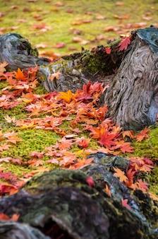 Folhas de bordo coloridas japonesas lindas no chão verde entre as raízes das árvores.