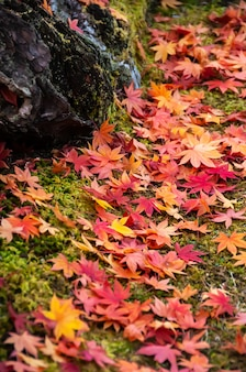Folhas de bordo coloridas japonesas lindas no solo verde, tronco de árvore.