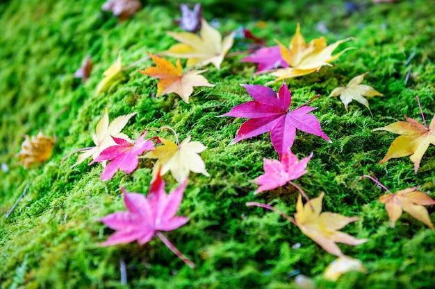 Folhas de bordo coloridas no outono.