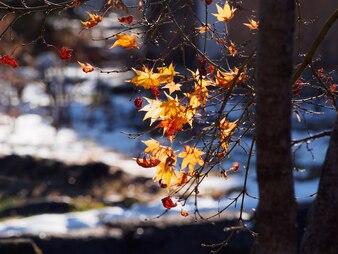 Folhas de bordo colorido na árvore de bordo no outono