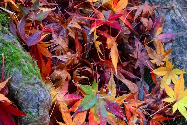 Folhas de bordo da cor do inclinação caídas na terra.