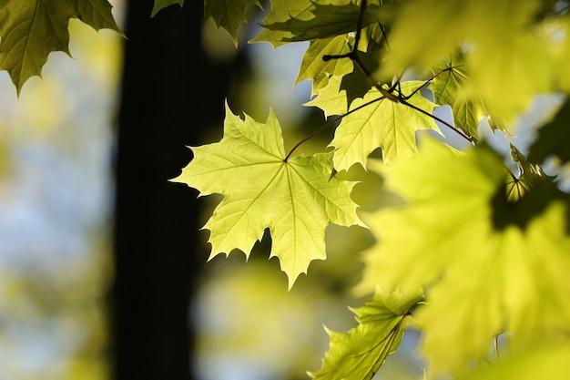 Folhas de bordo da primavera em um galho na floresta