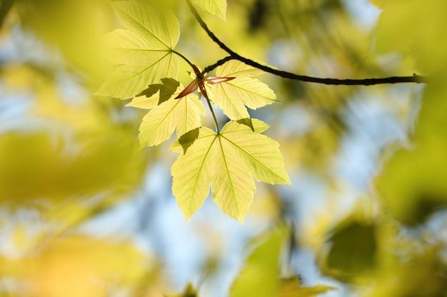 Folhas de bordo da primavera na floresta