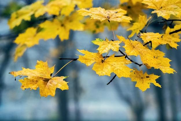Folhas de bordo de outono amarelas no parque de outono no meio do nevoeiro