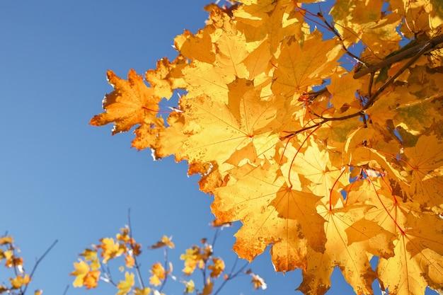 Folhas de bordo de outono coloridas em amarelo e vermelho