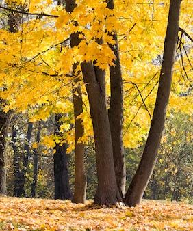 Folhas de bordo de outono nas árvores, as especificidades do outono, a natureza colorida e a mudança de cor para amarelo