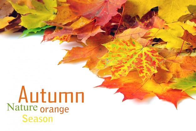 Folhas de bordo de outono
