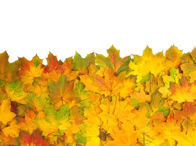 Folhas de bordo do outono isoladas em um branco