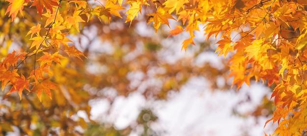 Folhas de bordo em um dia ensolarado de outono em primeiro plano e fundo desfocado em kyushu, japão