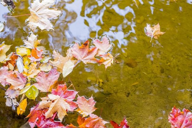 Folhas de bordo flutuando na água