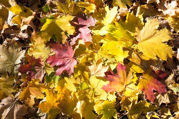 Folhas de bordo. fundo dourado do outono