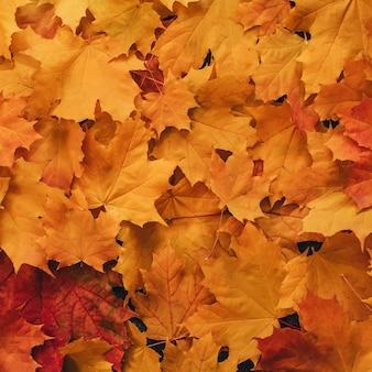 Folhas de bordo laranja secas de outono