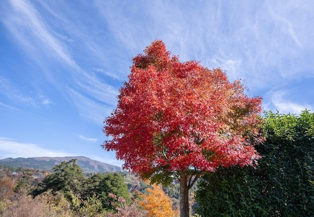 Folhas de bordo vermelhas bonitas em um dia ensolarado de outono, céu azul, close-up, cópia espaço, macro