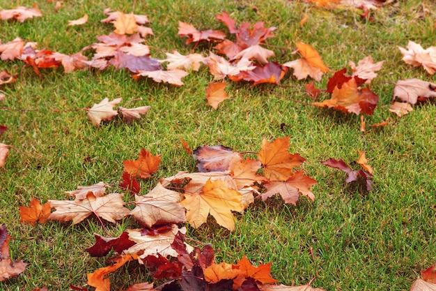 Folhas de bordo vermelhas e amarelas secadas na grama verde.