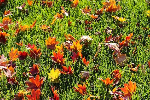 Folhas de bordo vermelhas em um fundo de grama verde do outono