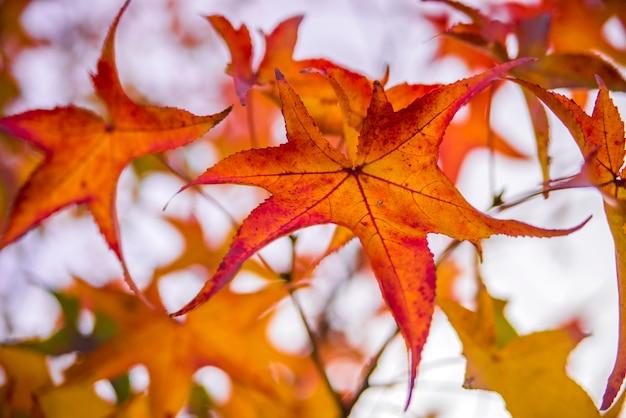 Folhas de bordo vermelhas no outono com reflexão solar, foco suave e profundidade de campo. um tiro macro de uma folha de outono. folhas vermelhas coloridas de outono na árvore
