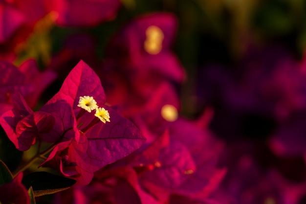 Folhas de buganvílias vermelhas