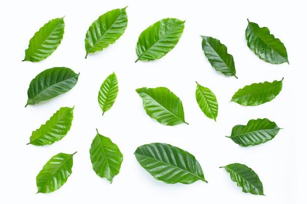 Folhas de café fresco.