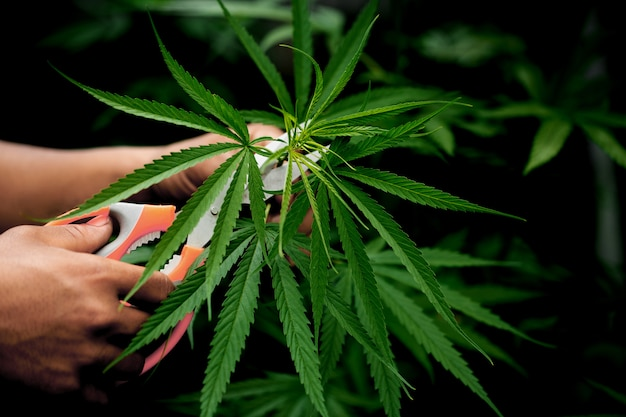 Folhas de cannabis de corte segurando pela mão
