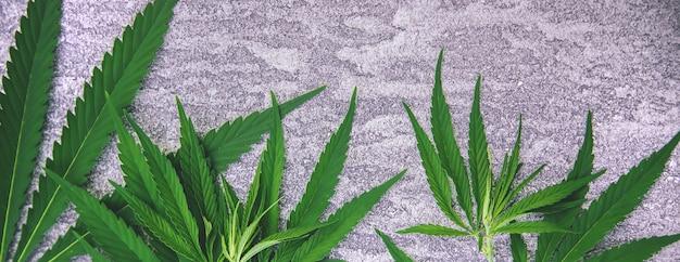 Folhas de cannabis em fundo de concreto. foco seletivo. natureza.