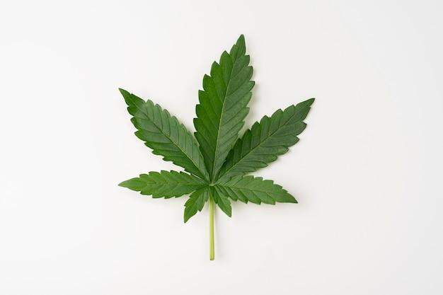 Folhas de cannabis verdes isoladas no fundo branco. cultivo de maconha medicinal, vista superior de perto