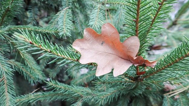 Folhas de carvalho amarelo nas agulhas de uma árvore de natal no outono. folhas de carvalho secas em uma árvore verde na rua em um dia ensolarado e quente. fundo de outono e inverno.
