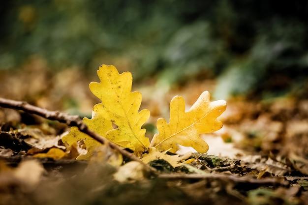 Folhas de carvalho amarelo no chão em um dia ensolarado de outono