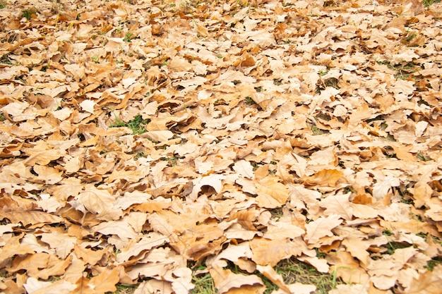 Folhas de carvalho caídas amarelas na grama no outono. foco seletivo. fundo.
