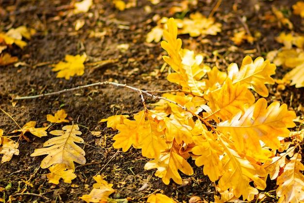 Folhas de carvalho caídas com foco seletivo. folhas secas de carvalho no chão. fundo de floresta de outono. copie o espaço