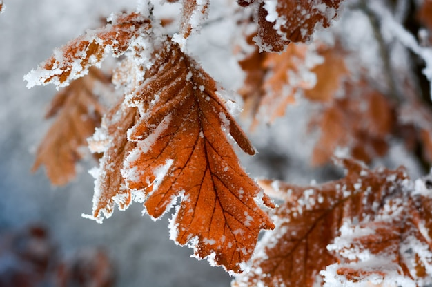 Folhas de carvalho congeladas cobertas de geada na árvore