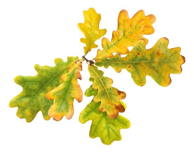 Folhas de carvalho de outono isoladas no branco com traçado de recorte. folhagem verde-amarela.
