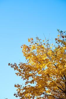 Folhas de carvalho laranja contra o céu azul claro