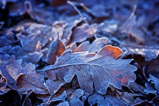 Folhas de carvalho no inverno em um dia frio