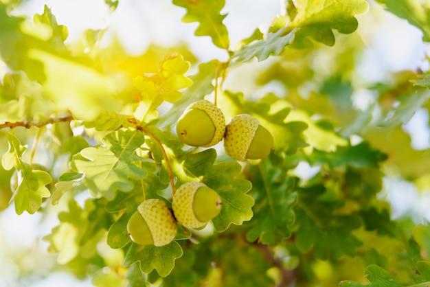 Folhas de carvalho verde desfocagem o fundo com bolotas, sol brilhante