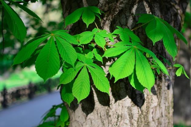Folhas de castanheiro verde. conceito de primavera.