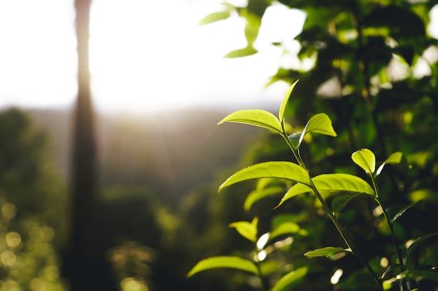 Folhas de chá de assam da árvore do chá verde na montanha à noite