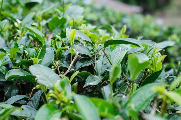 Folhas de chá em uma colina do jardim de chá pela manhã.