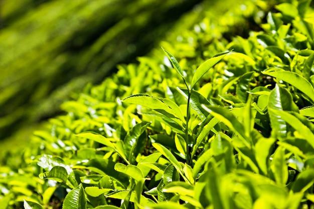 Folhas de chá na plantação de chá em munnar
