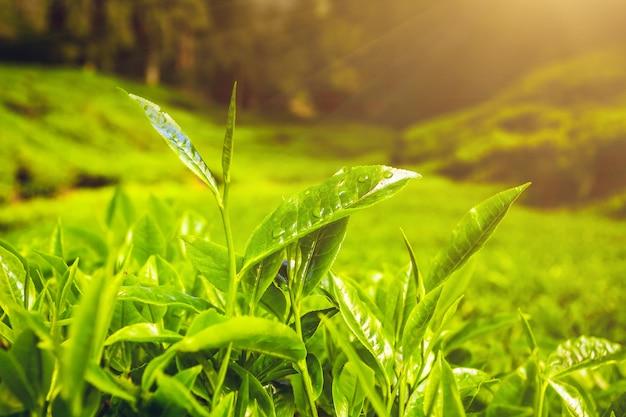 Folhas de chá no sol