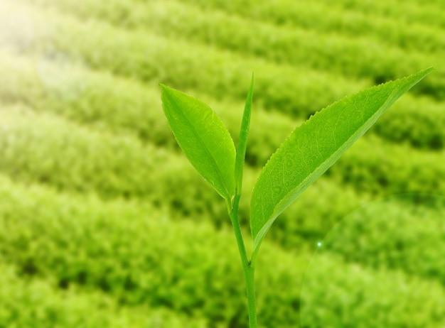Folhas de chá pela manhã