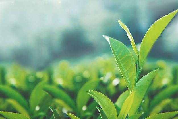 Folhas de chá saudável